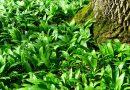 Sremuš – biljka koja podmlađuje i čuva zdravlje